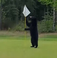 OnlineGolf News: Bear interrupts golfers on Alaska course